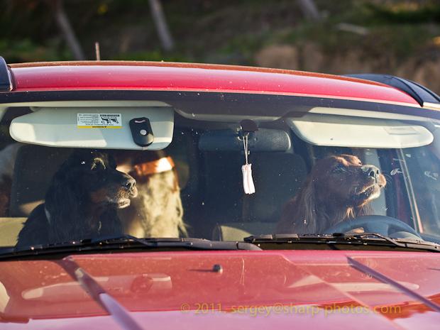 Собаки управляли автомобилем и организовали ДТП